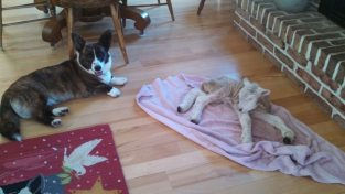 Lucy watching over the new baby lamb